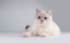 Picture cat, white, cat, look, pose, kitty, muzzle, cute, lies, kitty, blue eyes, light background, friendly, ...