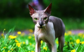 Picture cat, greens, Sphinx, background