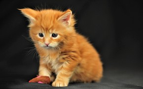 Wallpaper cat, cat, mustache, look, kitty, muzzle, cute, black background, cat, kitty, look, cute, black background, ...