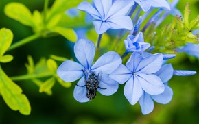 Picture macro, flowers, fly, blue