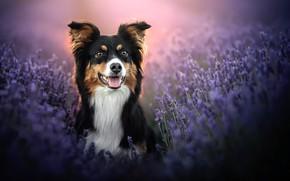 Picture face, dog, lavender