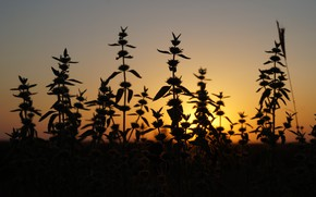 Picture sunset, nature, the steppe, plants, silhouette, nature, sunset, plant, steppe