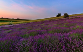 Picture field, summer, flowers, nature, the evening, slope, hill, meadow, lavender, plantation, shrubs, blue sky, bushes, ...