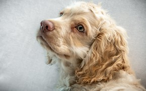 Picture look, puppy, breed, Spaniel
