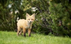 Picture nature, baby, weed, Fox