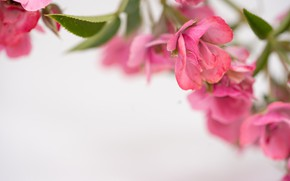 Picture flowers, background, pink