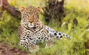 Picture grass, look, leopard, wild cat, handsome