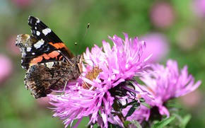 Picture flower, summer, butterfly, Admiral