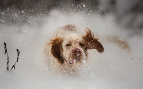 Picture winter, look, face, snow, nature, dog, nose, running, the snow, red, walk, ears, snowfall, Spaniel, …