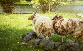 Picture stones, sheep, pasture, yard, sheep, sheep, sheep