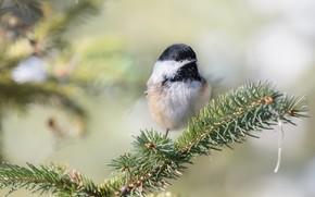 Picture branches, background, bird, bird, needles, bokeh, tit