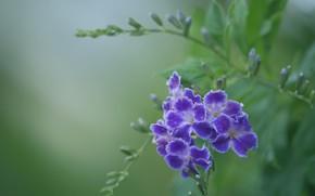 Picture purple, macro, duranta
