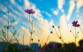 Picture the sky, sunset, flowers, the city, the evening