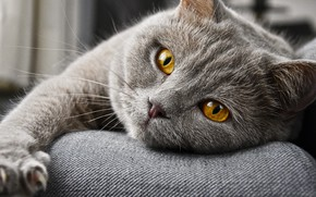 Picture cat, cat, look, face, grey, paw, lies, British, yellow eyes