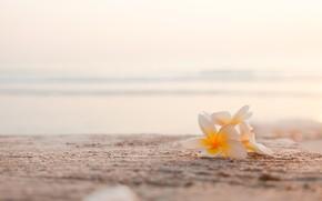 Picture sea, beach, flowers, plumeria