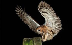 Picture bird, Gray owl, Strix aluco