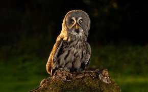 Picture look, nature, the dark background, owl, bird, owl
