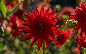 Picture macro, light, red, Dahlia, bokeh