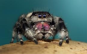 Picture eyes, macro, pose, background, black, legs, spider, hairy, turquoise, jumper, jumper, spider, sakunik, the Hoppy, …