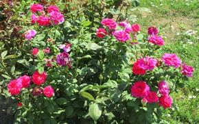 Picture Bush, roses, Meduzanol ©, Summer 2018