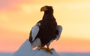 Picture winter, the sky, look, sunset, bird, eagle, eagle, floe, predatory, Steller's sea eagle