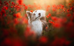 Picture Maki, meadow, dog, breed