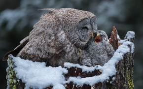 Picture winter, snow, birds, background, owl, stump, beak, baby, pair, care, mom, chick, owlet, owlet, a …