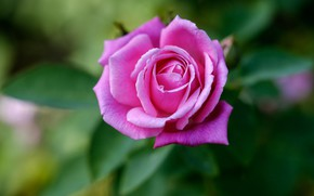 Picture flower, leaves, pink, rose
