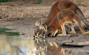 Picture reflection, shore, kangaroo, pair, drink, cub, mom, two, pond, kangaroo