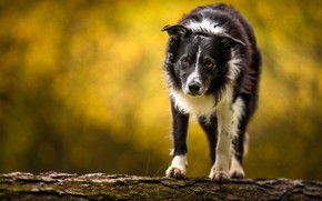 Picture autumn, language, look, branches, nature, background, dog, walk, the border collie