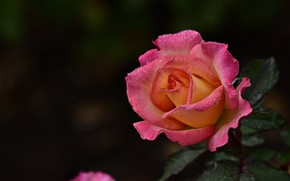 Picture flower, leaves, drops, the dark background, pink, rose, orange, Bud, розово-оранжевая