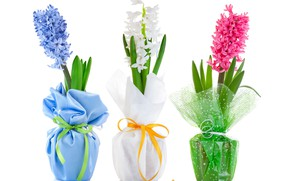 Picture flowers, white background, colorful, Hyacinths