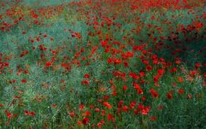 Picture greens, field, summer, grass, flowers, glade, Mac, Maki, meadow, red, a lot, poppy field