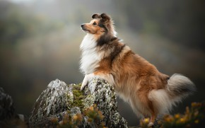 Picture background, stone, dog, Sheltie, Shetland Sheepdog