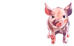 Picture white background, pig, pig
