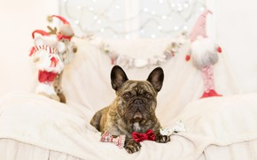 Picture sofa, holiday, toys, new year, dog, gifts, French bulldog