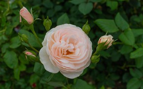 Picture leaves, rose, buds, cream