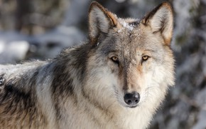 Wallpaper winter, eyes, look, face, snow, close-up, grey, background, wolf, portrait, predator, wildlife