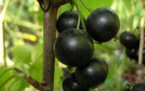 Picture berries, bunch, black currant