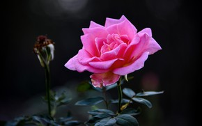 Picture flower, the dark background, pink, rose