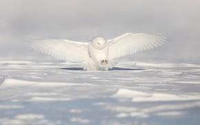 Picture winter, field, snow, flight, owl, bird, wings, the snow, stroke, polar, the scope, snowy owl