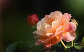 Picture leaves, the dark background, rose, orange, Bud