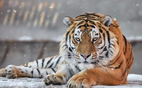 Picture winter, look, face, snow, tiger, pose, background, portrait, paws, lies, snowfall