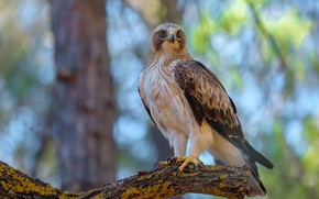 Picture birds, predator, booted eagle