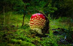 Picture greens, forest, mushroom, mushroom, needles