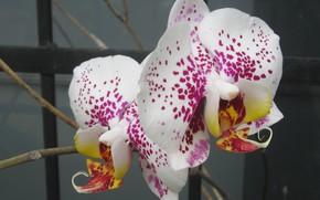 Picture flower, macro, phalaenopsis, plant, petals