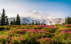 Picture the sky, grass, the sun, snow, trees, flowers, mountains, nature, rocks, USA, meadows, Mount Rainier …