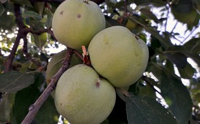 Picture autumn, apples, harvest