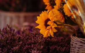 Picture sunflowers, flowers, nature, the dark background, bouquet, yellow, basket, sunflower, lilac, blurred background, Heather