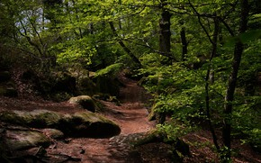 Picture forest, trees, nature, path
